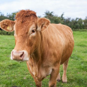 Limousin Cows - Shilvington-farm