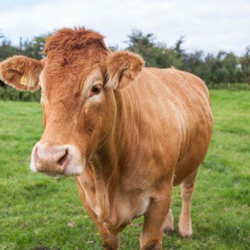 Limousin Cows - Shilvington-farm