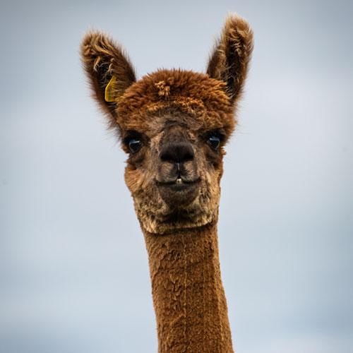 Cute brown alpaca