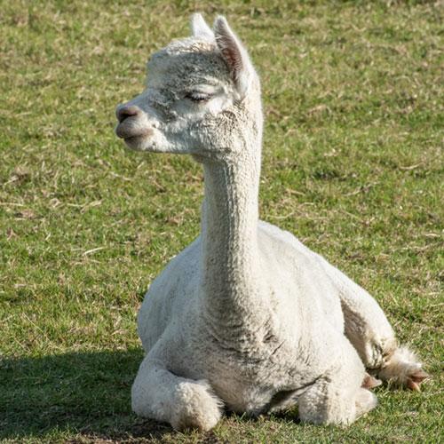 young sheared alpaca